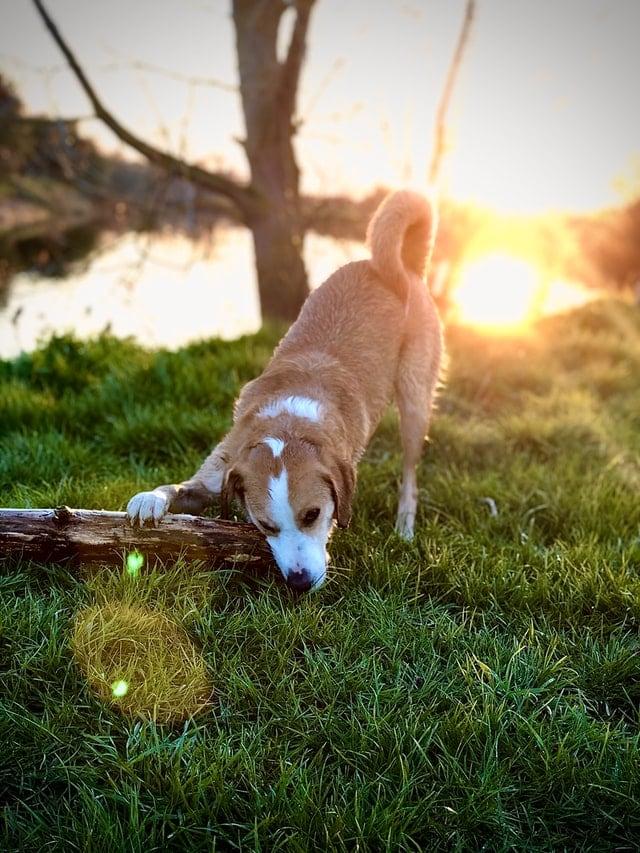 hund frisst gras und gegenstand